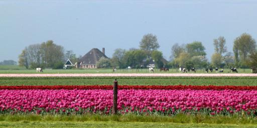 Tulpenfeld und Bauernhof in Nord-Holland