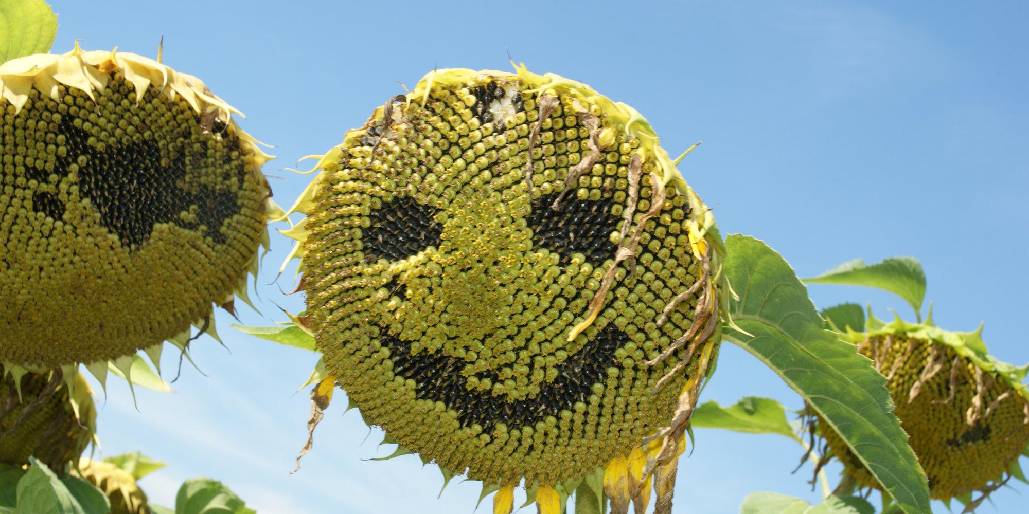 Slider Sonnenblumen